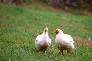 平飼いで育った長州ハーブ鶏で作るサクサク揚げ